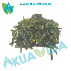 Bucephalanda Anclada en Coco Med. Aprox. 6 x 4 x 2 cm