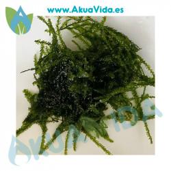 Java Moss ( Musgo de Java) Porcion 9 x 7 cm