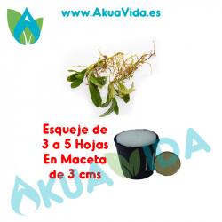 Bucephalandra Esqueje SP. Green Schotlite en Maceta de 3 cms