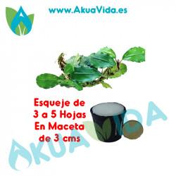 Bucephalandra Esqueje SP. Silver Powder en Maceta de 3 cms