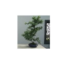 Himalaya Hawthorn Semilla 1 Unidad