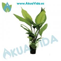 Anubias Heterophylla Maceta 5 cm
