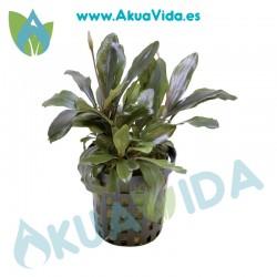 Bucephalandra Theia Maceta 5 cm