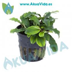 Bucephalandra Wavy Green Maceta 5 cm