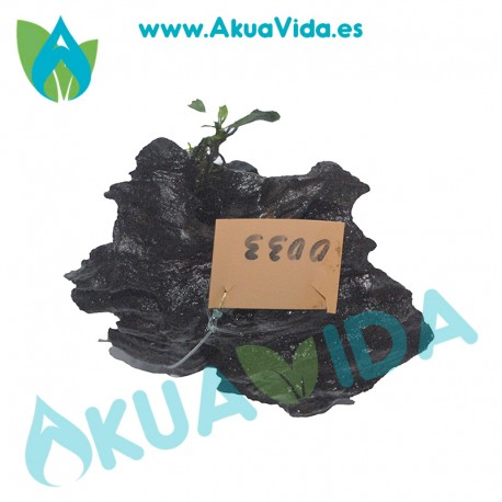 Anubia SP. Pangolino + Tronco Manglar Med. Aprox. 8 x 10 x 8 cm