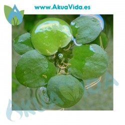 Limnobium Leavigatum Tarrina ( 15 Plantas) Trebol de Agua