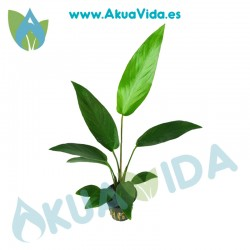 Anubias Hastifolia Maceta 5 cm